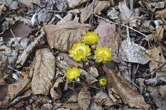 Schließen Sie herauf Bild von Blumen Amur Adonis Lizenzfreie Stockbilder
