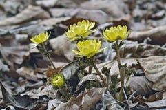 Schließen Sie herauf Bild von Blumen Amur Adonis Lizenzfreie Stockfotos