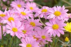 Schließen Sie herauf Bild von schönen rosa Blumen Gruppe der Blume im Blumengarten Stockfotos