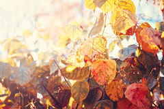 Schließen Sie herauf Bildschuß mit bunten gelben roten Herbstfallblättern auf Baumasten Stockbild