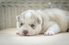 Schließen Sie herauf blaue Augen des netten Welpen Lizenzfreies Stockfoto