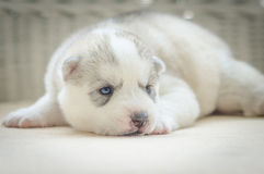 Schließen Sie herauf blaue Augen des netten Welpen lizenzfreies stockbild