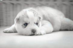 Schließen Sie herauf blaue Augen des netten Welpen stockfotografie