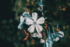 Schließen Sie herauf blaue Blumen von Bleiwurz auriculata Lizenzfreie Stockfotos