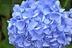 Schließen Sie herauf blaue Hortensieblume Lizenzfreie Stockfotos