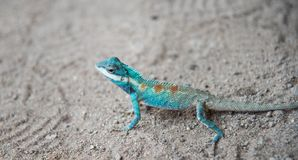 Schließen Sie herauf blaues Chamäleon auf Sandy-Boden stockfotografie