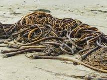 Schließen Sie herauf Blick der trockenen Meerespflanze auf Strand in Victoria Stockfotos