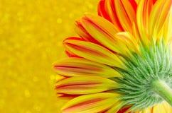 Schließen Sie herauf Blume Gerbera auf gelbem bokeh Hintergrund Stockfoto