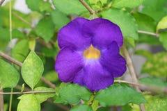 Schließen Sie herauf Blume purpurrotes Thunbergia erecta Benth anderson Stockfotos