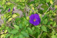 Schließen Sie herauf Blume purpurrotes Thunbergia erecta Benth anderson Lizenzfreie Stockfotos