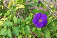 Schließen Sie herauf Blume purpurrotes Thunbergia erecta Benth anderson Lizenzfreies Stockfoto
