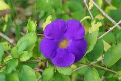 Schließen Sie herauf Blume purpurrotes Thunbergia erecta Benth anderson Lizenzfreies Stockbild