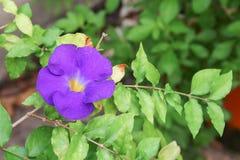 Schließen Sie herauf Blume purpurrotes Thunbergia erecta Benth anderson Stockbild