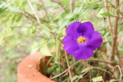 Schließen Sie herauf Blume purpurrotes Thunbergia erecta Benth anderson Lizenzfreie Stockfotografie