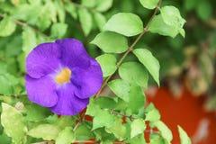 Schließen Sie herauf Blume purpurrotes Thunbergia erecta Benth anderson Lizenzfreie Stockbilder