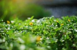 Schließen Sie herauf dailsy Blume Singapurs am Garten, selektiver Fokus, gefiltertes Bild, der addierte Lichteffekt Lizenzfreie Stockbilder