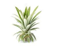 Schließen Sie herauf das grüne Blatt von Ananas lokalisiert auf Weiß Lizenzfreies Stockfoto