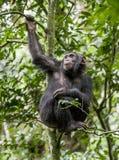 Schließen Sie herauf das Porträt des Schimpansen (Pan-Höhlenbewohner) stillstehend auf dem Baum im Dschungel Stockbild
