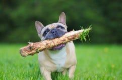 Schließen Sie herauf das Porträt einer französischen Bulldogge und mit Stock in mou laufen Stockfoto