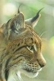 Schließen Sie herauf das Profil, das vom eurasischen Luchs geschossen wird Stockfotografie