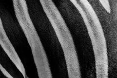 Schließen Sie herauf das Schwarzweiss Zebrahautmuster Lizenzfreies Stockfoto