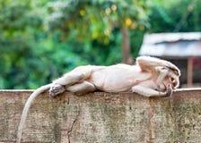 Schließen Sie herauf den Affen, der auf dem konkreten Zaun schläft Lizenzfreie Stockbilder