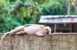 Schließen Sie herauf den Affen, der auf dem konkreten Zaun schläft Stockbild
