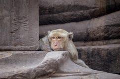 Schließen Sie herauf den Hauptschussbraun-Haaraffen, der auf altem Tempel, thi sitzt Lizenzfreie Stockbilder