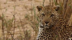 Schließen Sie herauf den Leoparden, der herum schaut stock video
