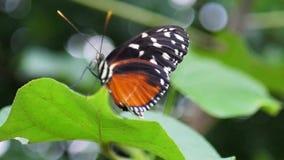 Schließen Sie herauf den schönen Schmetterling, der auf Anlage sitzt stock video