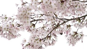Schließen Sie herauf Detail über Kirschblütenbaum stock video