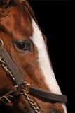 Schließen Sie herauf Detail des Gesichtes des Rennen-Pferds Stockbilder