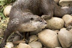 Schließen Sie herauf Detail eines Otters Stockfotos