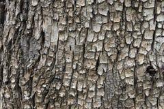 Schließen Sie herauf die Beschaffenheit und die Oberfläche der rauen Baumhaut Lizenzfreie Stockbilder