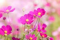 Schließen Sie herauf die bunten rosa Kosmosblumen, die auf dem Gebiet blühen lizenzfreies stockfoto