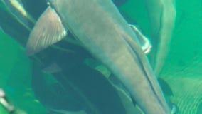 Schließen Sie herauf die großen Fische, die in Wasser auf Seebauernhof schwimmen Züchten und Bearbeitung, Fischzucht im Wasserrau stock video footage