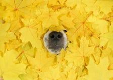 Schließen Sie herauf die Hundenase, die aus gelben Ahornblättern heraus stößt Lizenzfreies Stockfoto
