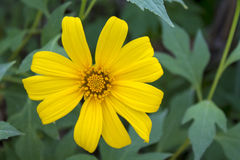 Schließen Sie herauf die kleine Sonnenblume, die morgens Leuchtstoff ist Lizenzfreies Stockbild