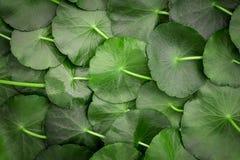 Schließen Sie herauf die Kreisgrün-Blattdekoration als abstrakter grüner Hintergrund von asiatica Centella, neuer Krautbetriebshi lizenzfreie stockfotos