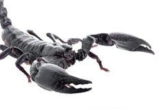 schließen Sie herauf die schwarzen Skorpione, die auf einem weißen Hintergrund lokalisiert werden Lizenzfreie Stockbilder