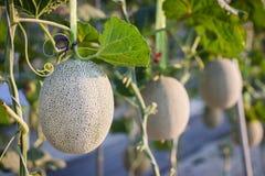 Schließen Sie herauf die wachsende Melone vorbereiten für Ernte im Feldbetriebslandwirtschaftsbauernhof lizenzfreies stockbild