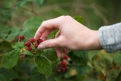 Schließen Sie herauf die weibliche Hand, die rote Beeren auswählt Stockfotos