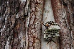 Schließen Sie herauf die Wespen, die Larven auf dem Nest konstruieren und schützen lizenzfreie stockfotos