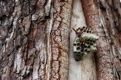 Schließen Sie herauf die Wespen, die Larven auf dem Nest konstruieren und schützen lizenzfreie stockbilder