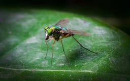 Schließen Sie herauf Dolichopodidae (Fliege) auf grünem Blatt in der Natur Lizenzfreie Stockbilder