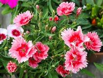 Schließen Sie herauf dunkle rosa Blume Lizenzfreie Stockbilder