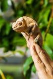 Schließen Sie herauf ein Chamäleon auf Fingern, grüner Hintergrund Stockfotos