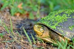 Schließen Sie herauf ein Gesicht der asiatischen Dosenschildkröte gehend in einen grünen Garten lizenzfreie stockbilder
