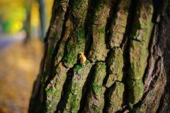 Schließen Sie herauf eine alte Baumrinde mit einem gelben Blatt und grünem Moos auf einem Hintergrund des Herbstwaldes Lizenzfreies Stockfoto