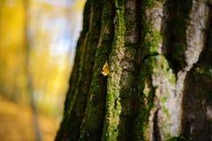 Schließen Sie herauf eine alte Baumrinde mit einem gelben Blatt und grünem Moos auf einem Hintergrund des Herbstwaldes Stockfotos